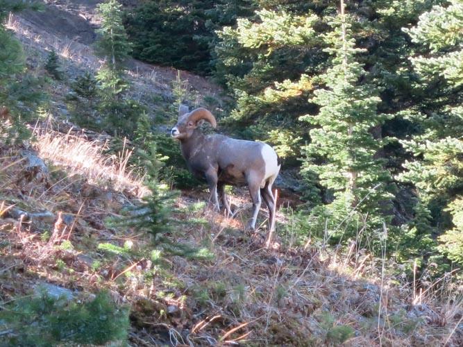 Hood_IMG_3183_Bighorn Sheep on the saddle betw King Ridge and Mount Hood